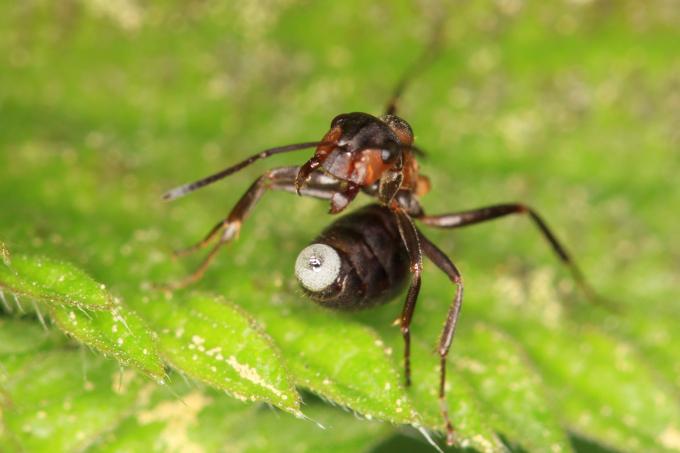 Formica rufa (mravenec lesní)