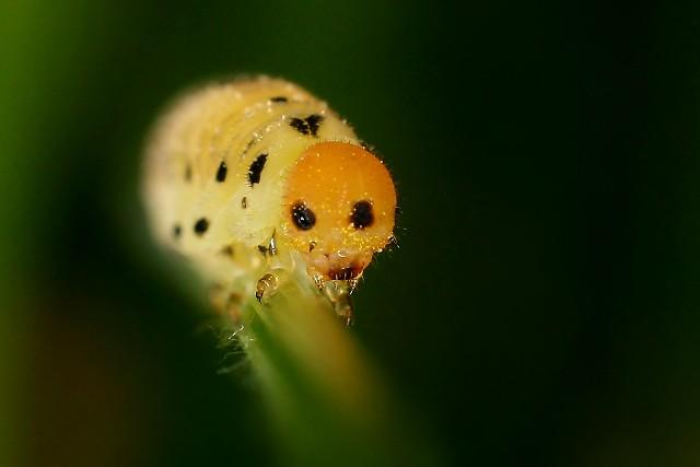 Housenice (blanokřídlí - Hymenoptera)