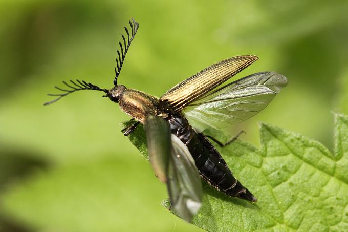 Ctenicera pectinicornis (kovařík zelený)
