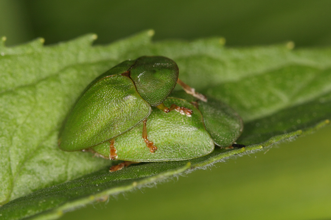 Cassida viridis (štítonoš zelený)