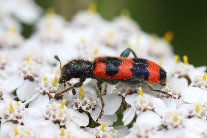 Trichodes apiarius (pestrokrovečník včelový)