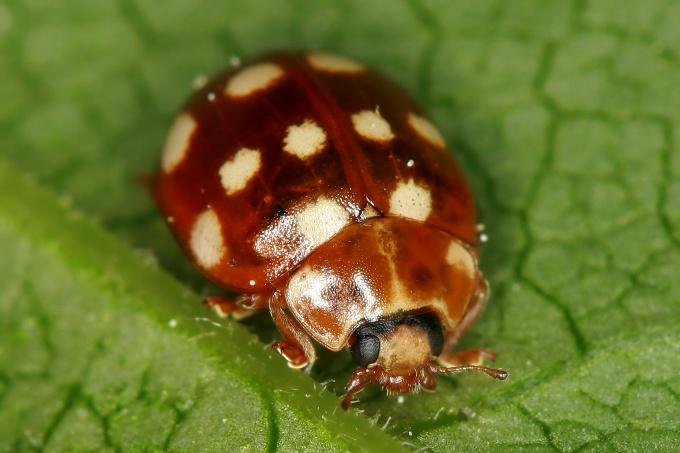 Calvia quattuordecimguttata (slunéčko čtrnáctitečné)