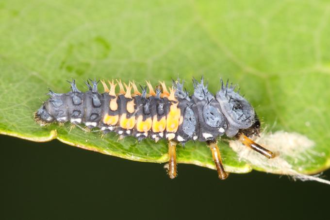 Slunéčko Harmonia axyridis - larva