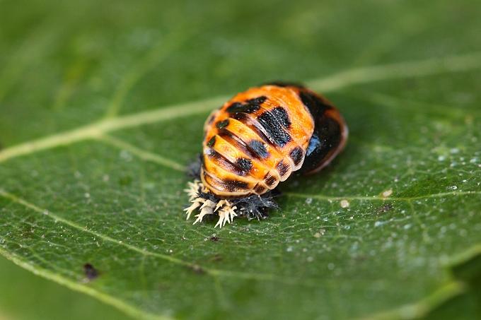 Slunéčko Harmonia axyridis - kukla (pupa)