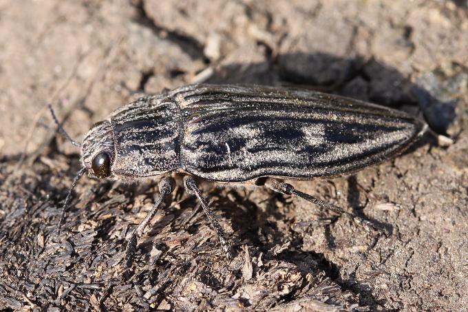 Chalcophora mariana (krasec měďák)
