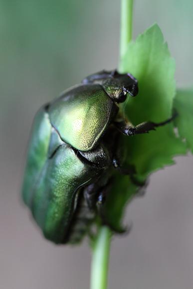 Protaetia cuprea (zlatohlávek hladký)