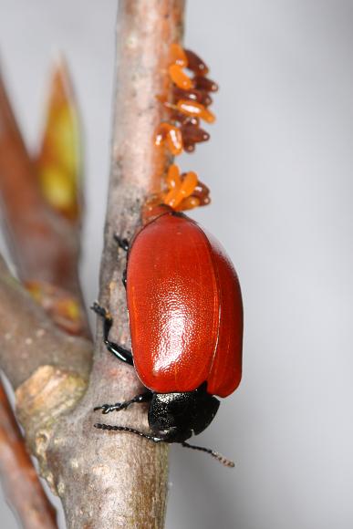 Chrysomela populi (mandelinka topolová)