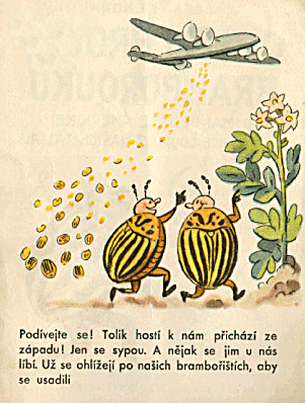 Leptinotarsa decemlineata (mandelinka bramborová)