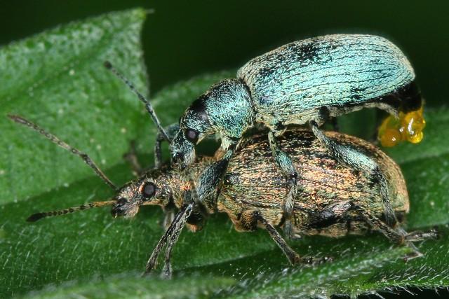 Phyllobius argentatus (listohlod zlatozelený)