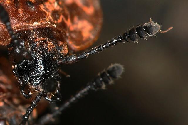 Oeceoptoma thoracicum (mrchožrout znamenaný)
