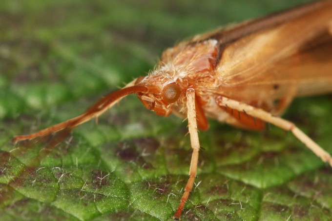 Limnophilus rhombicus (chrostík kosníkový)