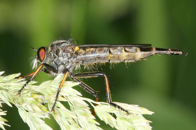 Rupec (Asilidae sp.)