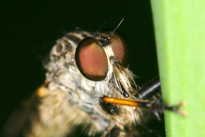 Roupec (Asilidae sp.)