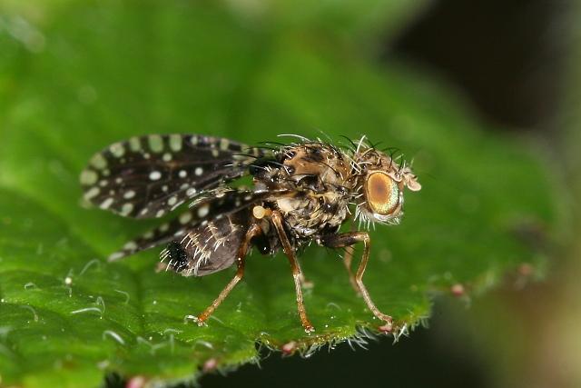 Trypetoptera punctulata (vláhomilka)