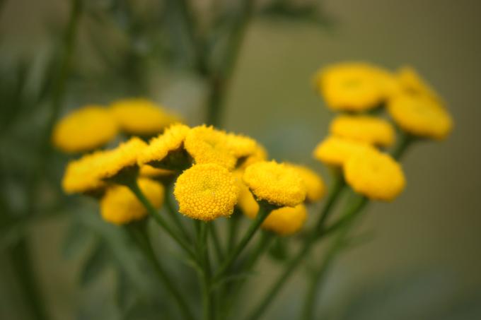 Tanacetum vulgare (vratič obecný)