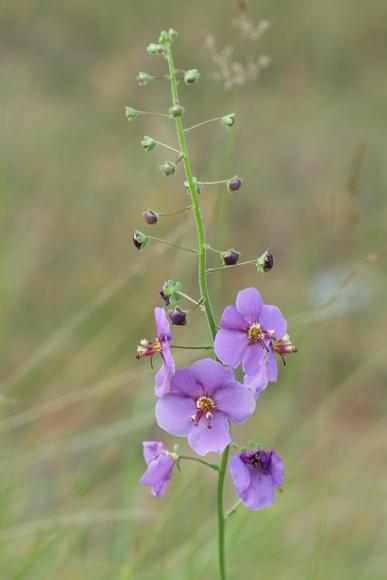 Verbascum phoeniceum (divizna brunátná)
