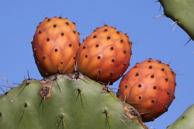 Opuntia ficus-indica (opuncie mexická)