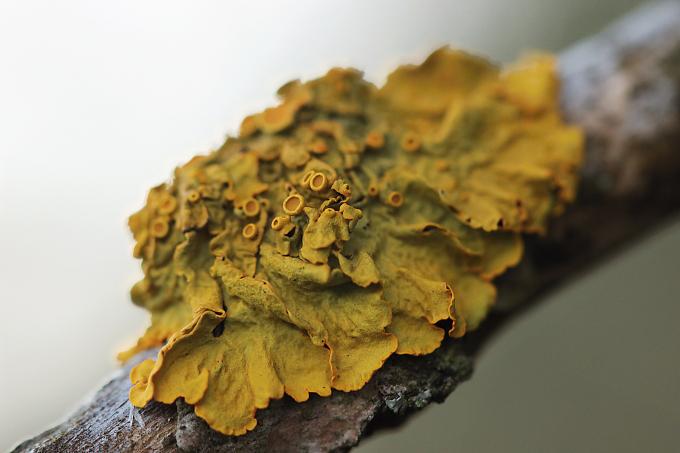 Xanthoria parietina (Terčovník zední)