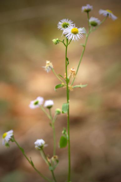 Erigeron annuus (turan roční)