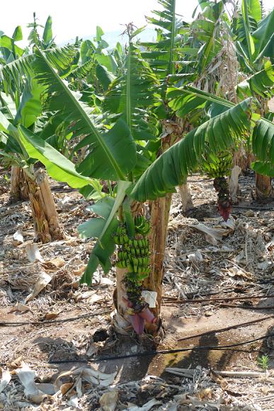 Musa paradisiaca (banánovník)