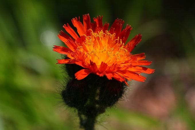 Hieracium aurantium (jestřábník oranžový)