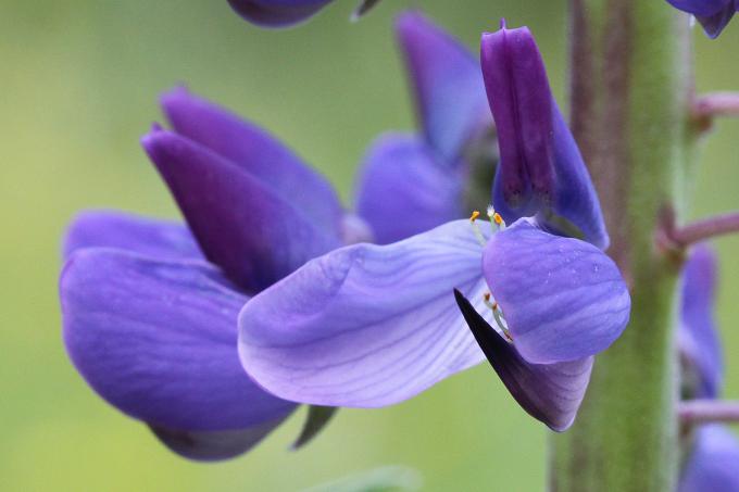 Lupinus polyphyllus (lupina mnoholistá)