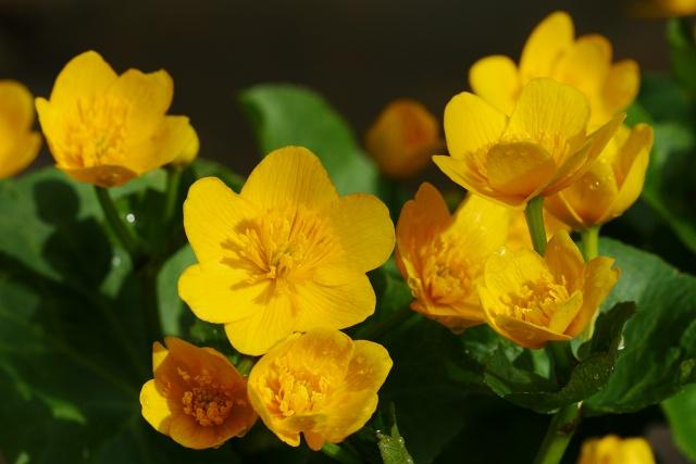 Caltha palustris (blatouch bahenní)