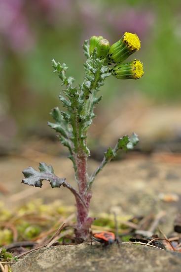 Senecio vulgaris (starček obecný)