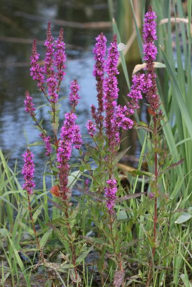 Lythrum salicaria (kyprej vrbice)