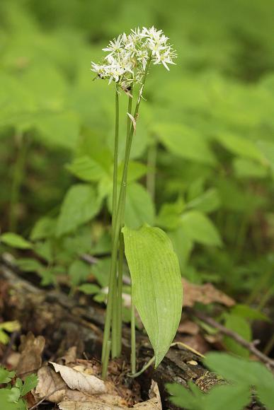 Allium ursinum (česnek medvědí)