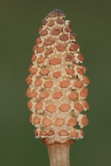 Equisetum arvense (přeslička rolní)