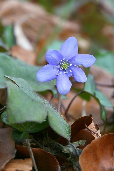 Hepatica nobilis (jaterník trojlaločný)