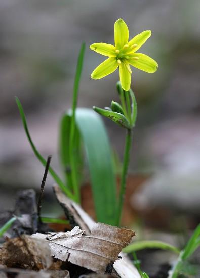 Gagea lutea (křivatec žlutý)