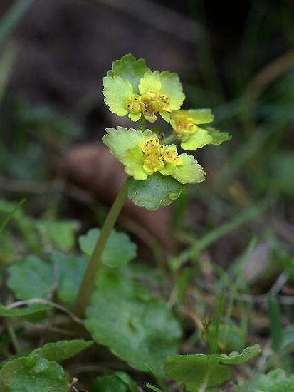 Chrysosplenium alternifolium (mokrýš střídavolistý)