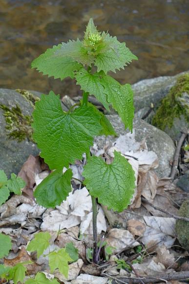 Alliaria petiolata (česnáček lékařský)