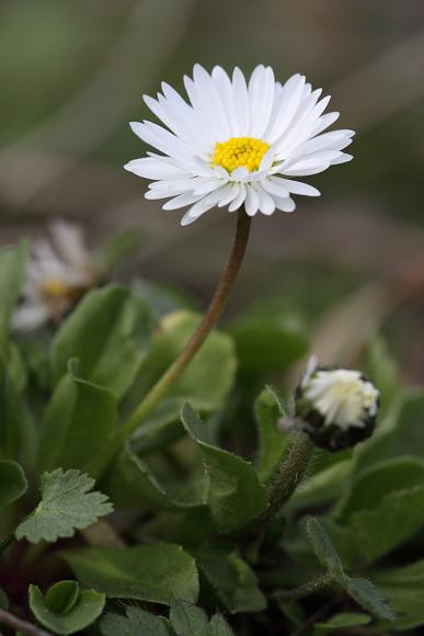 Jarní zádumčivost - sedmikráska chudobka (Bellis perennis)