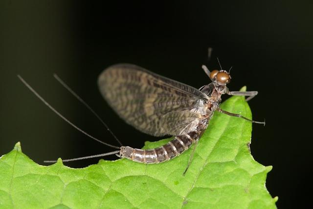Jepice Paraleptophlebia submarginata