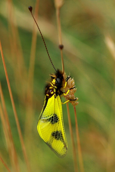 Ascalaphus macaronius (ploskoroh pestrý)