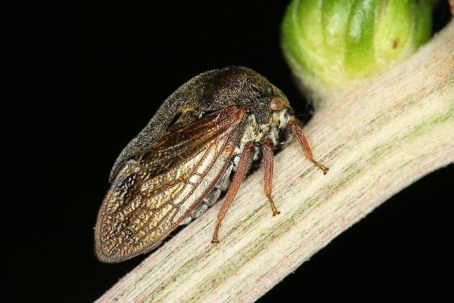 Centrotus cornutus (ostnohřbetka křovinná)