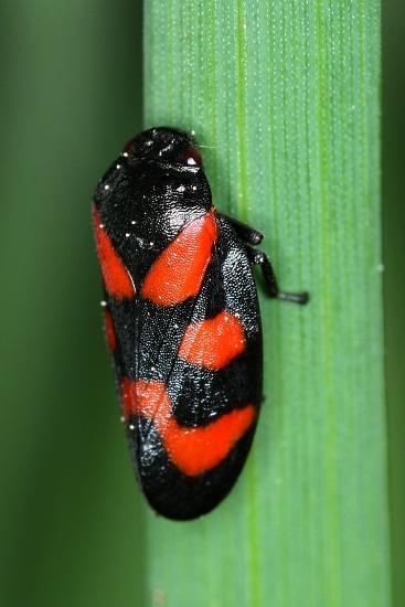 Cercopis vulnerata (pěnodějka červená)