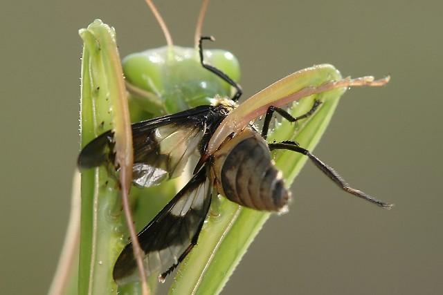Mantis religiosa (kudlanka nábožná)