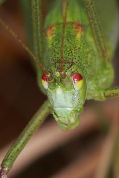 Phaneroptera falcata (kobylka křídlatá)