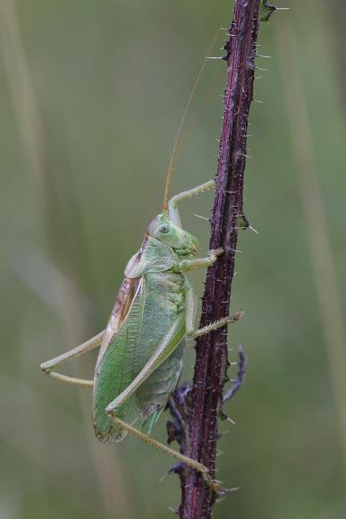 Tettigonia cantans (kobylka zpěvavá)
