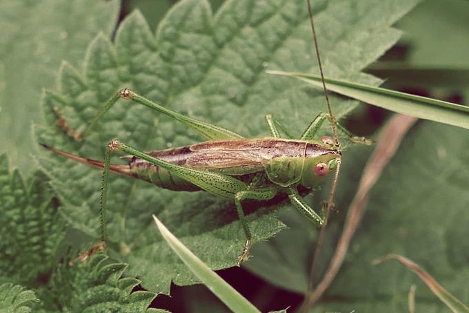 Conocephalus dorsalis (kobylka mokřadní)