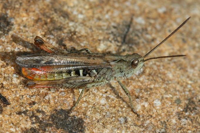 Chorthippus biguttulus (saranče měnlivá)