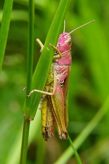 Omocestus viridulus (saranče zelená)