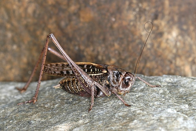 Decticus verrucivorus (kobylka hnědá)
