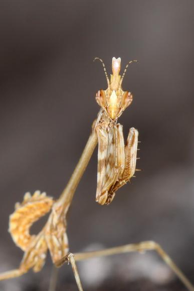 Empusa fasciata (kudlanka jižní)