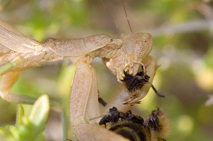 Kudlanka (Mantidae sp.)