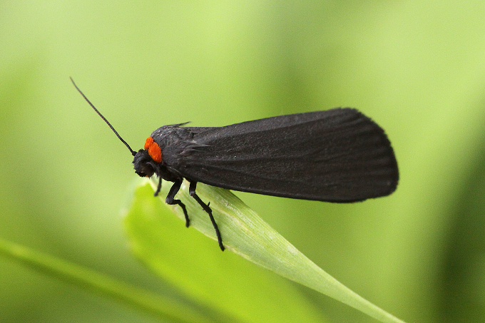Atolmis rubricollis (lišejníkovec černý)
